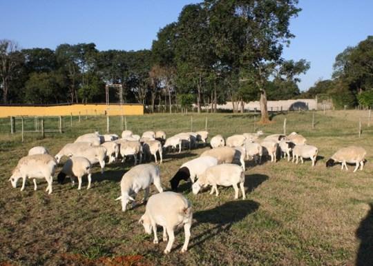 carne-de-ovinos-certificada-dorper